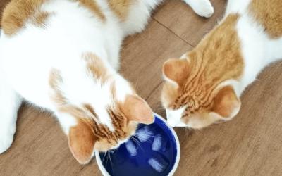 So überstehen Katzen die sommerliche Hitze!